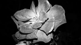 Belle Rose photo stock
