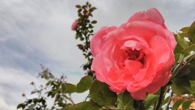 Belle Rose Images libres de droits