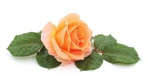 Belle rose avec gouttes de pluie photo stock
