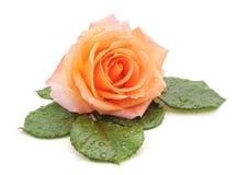 Belle rose avec gouttes de pluie photographie stock