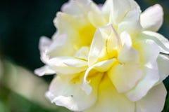 Belle rose bianche con i grandi petali fotografia stock
