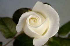 Belle Rose blanche images stock