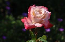 Belle Rose Blooming au jardin botanique de côte sud, Palos Verdes Peninsula, le comté de Los Angeles, la Californie image libre de droits