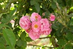 Belle rose Bush in giardino, rose per Valentine Day Fotografia Stock Libera da Diritti