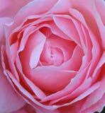 Belle Rose Closeup Patels rose Images libres de droits