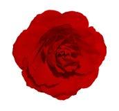 Belle rose d'isolement de rouge sur le fond blanc Fleur de plan rapproché de fleur Photo libre de droits