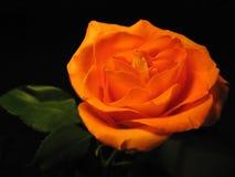 Belle rose d'orange d'isolement sur un noir Photo libre de droits