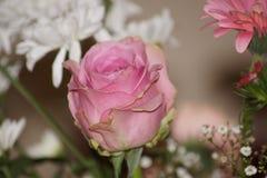 Belle rose de rose de couleur Front View Photo libre de droits