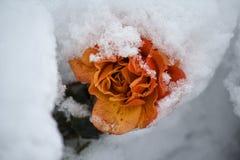 Belle rose de crème couverte de neige Photos stock