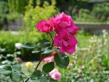 Belle rose de cramoisi Photographie stock libre de droits