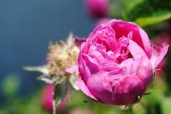 Belle rose de rose dans le bourgeon, plan rapproché rose Photo libre de droits