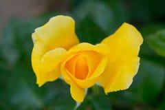 Belle rose de jaune avec le foyer sélectif photo libre de droits