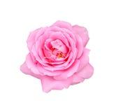 Belle rose de rose d'isolement sur le fond blanc Photo stock