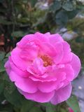 Belle rose de rose dans le jardin Photo stock