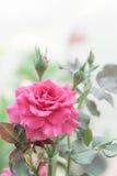 Belle rose de rose dans le jardin, roses roses avec le fond bl Photographie stock libre de droits