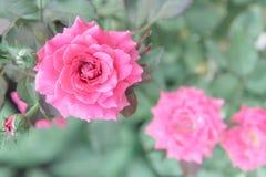 Belle rose de rose dans le jardin, roses roses avec le fond bl Images stock