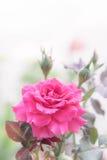 Belle rose de rose dans le jardin, roses roses avec le fond bl Image stock