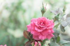 Belle rose de rose dans le jardin, roses roses avec le fond bl Photographie stock