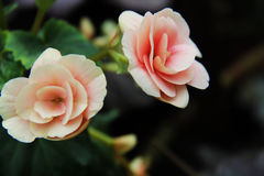 Belle rose de rose de flore de fleurs Photo stock