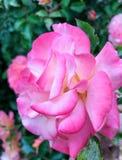 Belle rose de rose en fleur, pétales avec des nuances Photos libres de droits