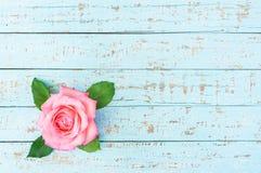 Belle rose de rose sur le bois bleu en pastel Photo stock