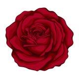 Belle rose de rouge avec l'aquarelle d'effet d'isolement sur le fond blanc Images stock