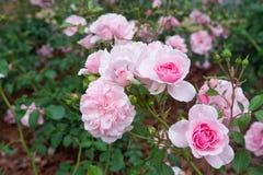 Belle rose de rouge avec le foyer sélectif image stock