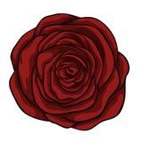 belle rose de rouge d'isolement sur le fond blanc Image stock