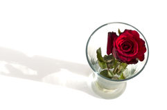 Belle rose de rouge dans l'isolat blanc en verre Photos stock