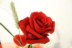 Belle rose de rouge en détail Photos stock