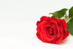 Belle rose de rouge sur le fond blanc avec le concept roman de jour du ` s de valentine d'amour de l'espace de copie Photographie stock