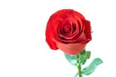 Belle rose de rouge sur un fond blanc Photo stock