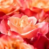 Belle rose del mazzo Immagine Stock Libera da Diritti