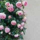 Belle rose dentellare Fotografie Stock