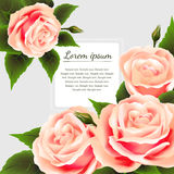 Belle rose e struttura dei fiori Fotografia Stock Libera da Diritti