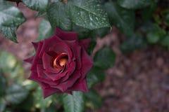 Belle Rose Flower colorée Photos libres de droits