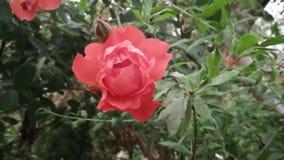 Belle Rose Flower rouge de floraison est secouée avec le vent, semblant belle et l'exposition le symbole de l'amour et de l'amiti clips vidéos