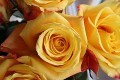 Belle rose gialle per la congratulazione immagini stock
