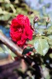 Belle rose in giardino, rose per Valentine Day Immagini Stock Libere da Diritti