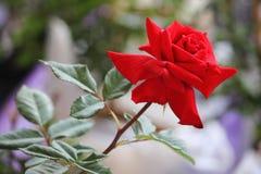 Belle rose in giardino sul fondo della luce morbida, rose per il Va Fotografie Stock