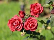 Belle rose insolite della foto Fotografia Stock