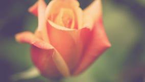 Belle rose naturelle de jaune sur la lumière de matin, fond vert-foncé banque de vidéos