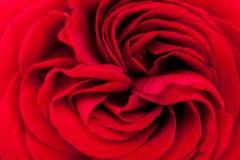 Belle rose parfumée de rouge pour l'amour Photos libres de droits