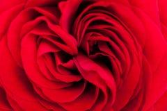 Belle rose parfumée de rouge pour l'amour Photo stock