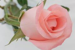 Belle rose rosa molli Immagini Stock Libere da Diritti