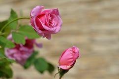 Belle rose rosa nel giardino fotografia stock