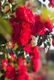 Belle rose rosse Fotografia Stock
