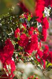 Belle rose rosse Fotografie Stock