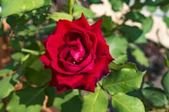Belle rose rosse dal giardino Immagine Stock
