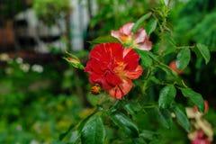 Belle rose rosse di Bush di rosa rossa, mazzo delle rose rosse Immagine Stock